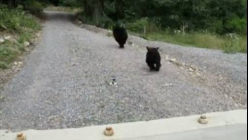 Baby Bears Released Into the Wild
