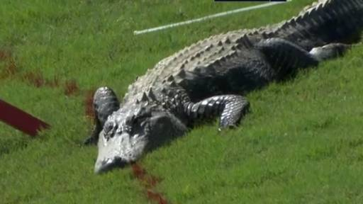 Three-Legged Alligator Interrupts PGA Tour