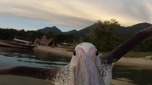 Humans Teach a Pelican to Fly and a Whale Goes Boat Racing