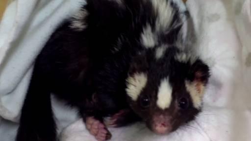 Greasy Skunk Gets a Bath