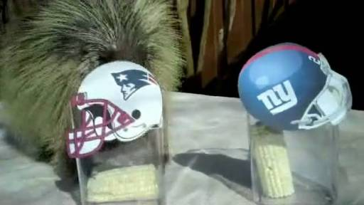 Teddy the Talking Porcupine Predicts Super Bowl Winner