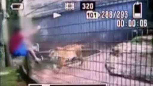 Boy Loses Arm After Taunting Caged Tiger