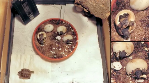 An Adorable Time-Lapse of Hatching Tortoises