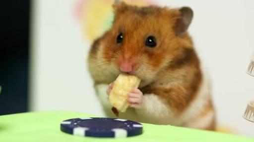 Hamster Faces Off Against Kobayashi in Hot Dog Eating Contest