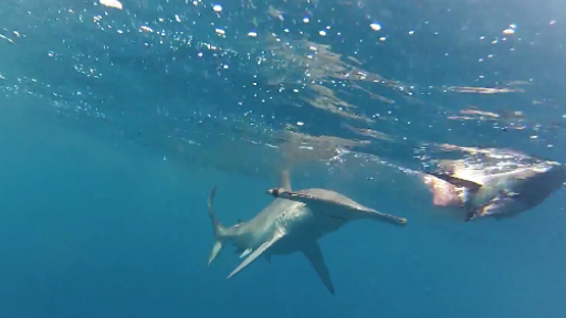 Delivering Lunch to a Hammerhead Shark