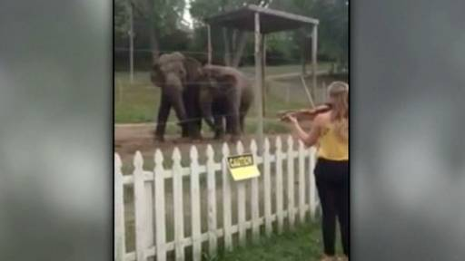 Violinist Plays 'The Bach Double' for a Pair of Elephants