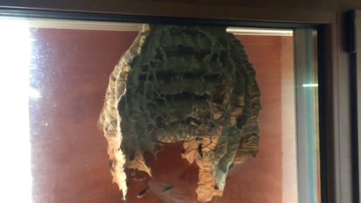 A Look at the Inner Workings of a Wasp Nest