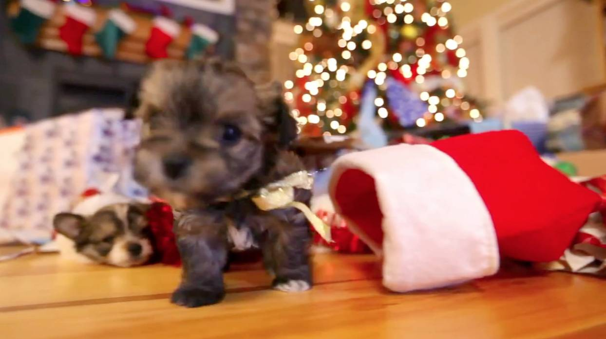 Puppy Christmas From Presents To Tree Rtm Rightthisminute