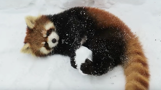 Aninimal Book: We Love This Red Panda In The Snow And These Cute Zoo ...