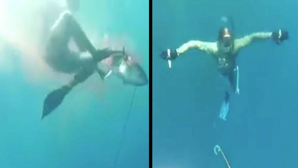 tuna drags spearfishing snorkeler halfway to davy jones