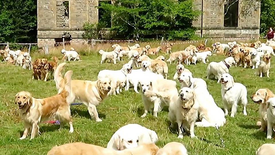 hundreds of golden retrievers descend on scottish estate rtm