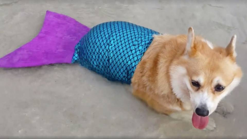 Beached Corgi In A Mermaid Tail Is Your Spirit Animal
