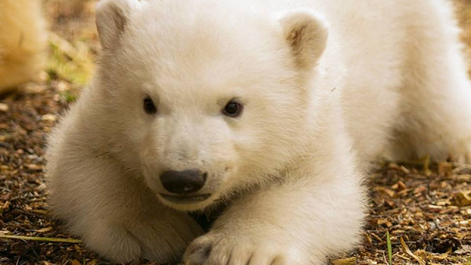 baby polar bear takes adorable first steps rtm