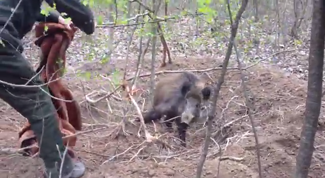 group of guys rescue wild boar from poacher s trap rtm