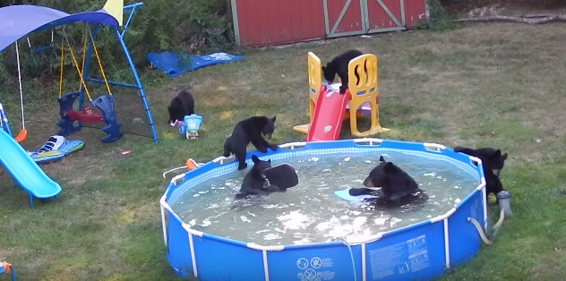 When The New Jersey Heat 39 S Unbearable Bears Go Swimming Rtm Rightthisminute