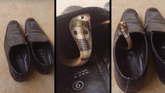 There S A Snake In My Shoe Baby Cobra Hides Inside Dress