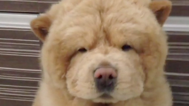 Fluffy Chow Chow Becomes Social Media Star Rtm