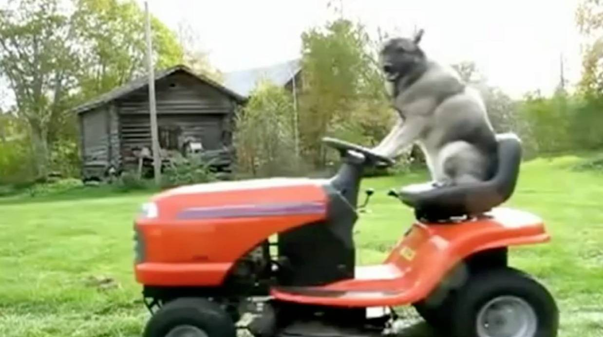 Mowing Big Cat Gif