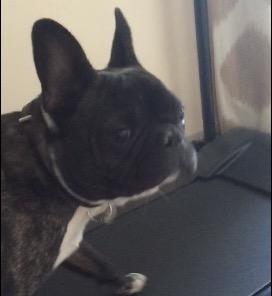french bulldog uses treadmill rtm rightthisminute