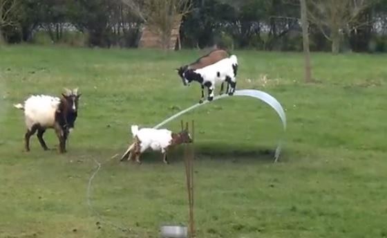 magnificent goat jungle gym amp dog yawns on command rtm
