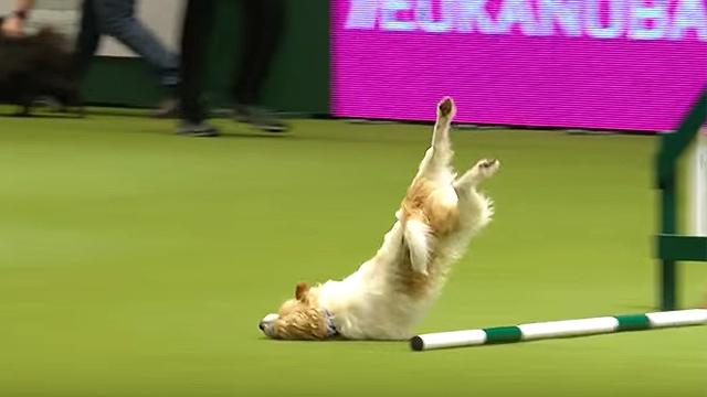 Crufts Rescue Dog Agility