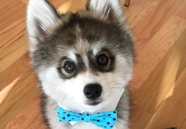Norman The Pomsky Is Too Cute For Words Rtm