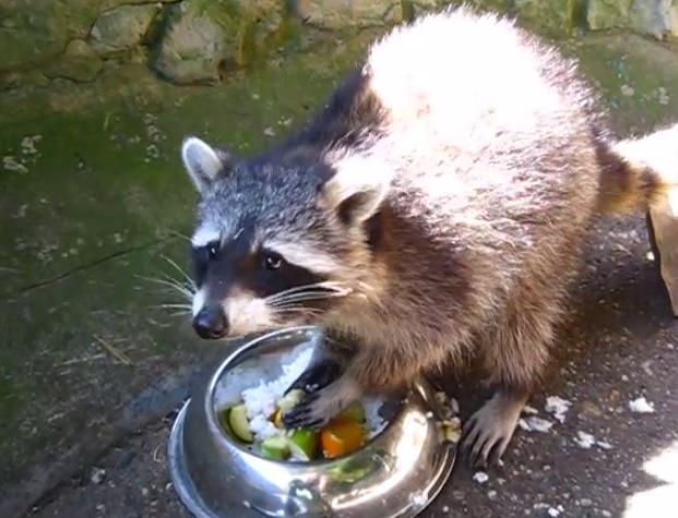 Raccoon Eats Dinner Like A Champ Rtm Rightthisminute
