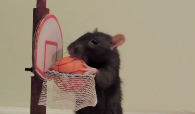 You Won T Believe What These Pet Rats Can Do Rtm