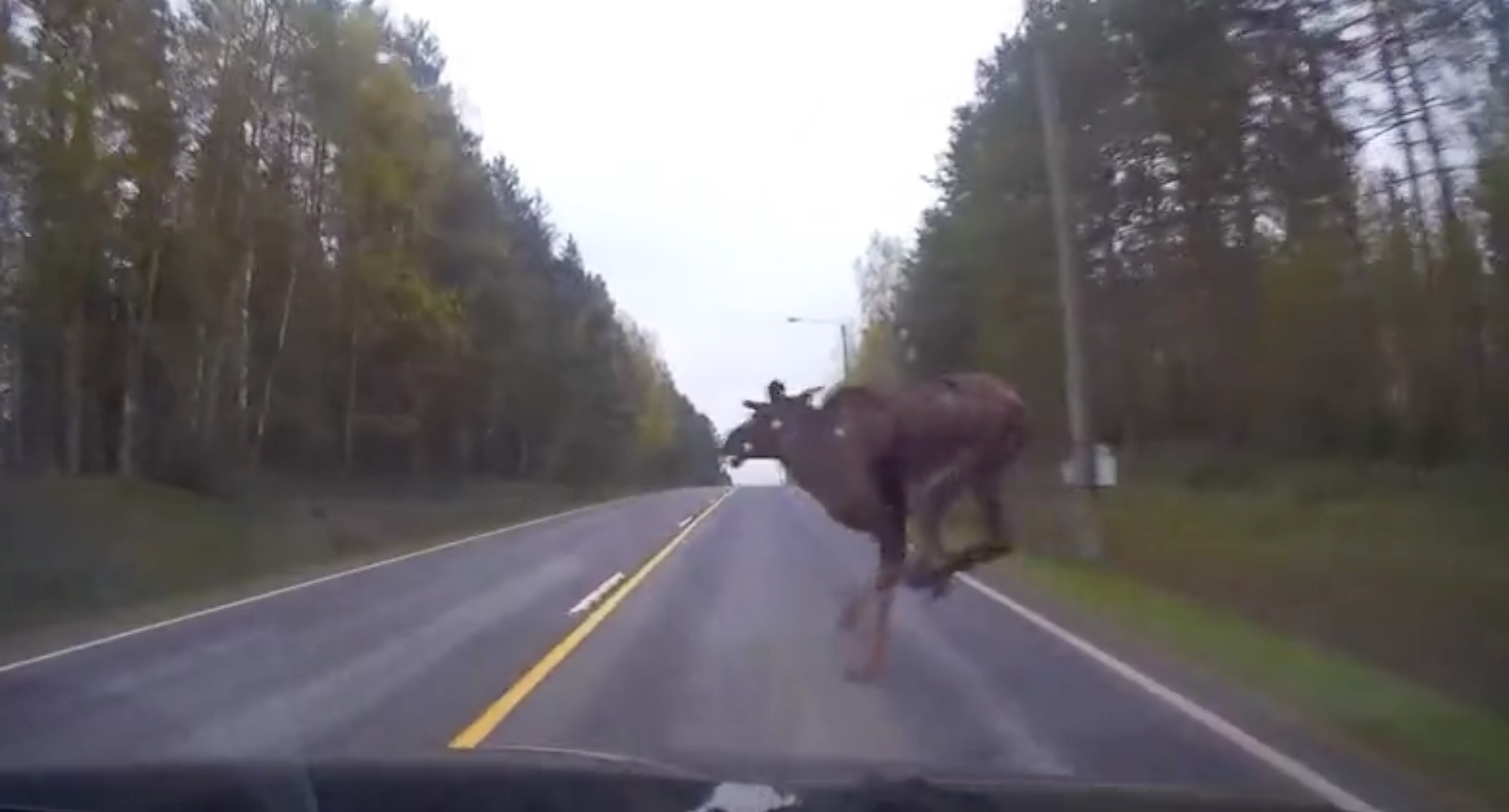 Car Full Form >> Moose Chooses the Wrong Time to Cross the Road | RTM - RightThisMinute