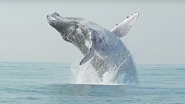 Humpback Whale Makes Full Leap Out Of The Water RTM - Rare moment 40 ton whale jumps completely out of the water
