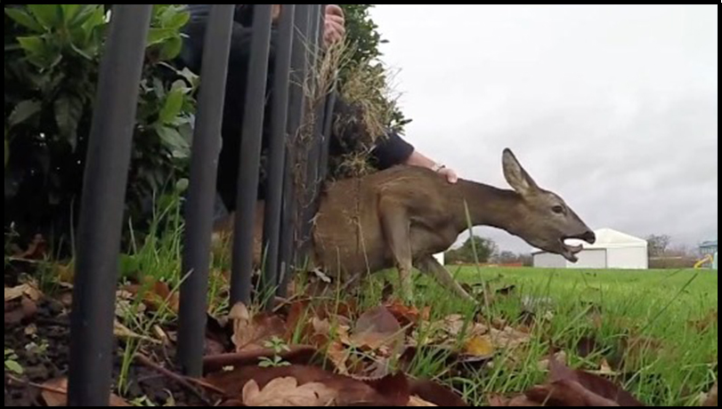 Deer Stuck In A Fence Amp Stag Caught On A Rope Rtm