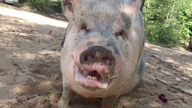 ziggy the piggy refuses to leave hog heaven throws temper tantrum